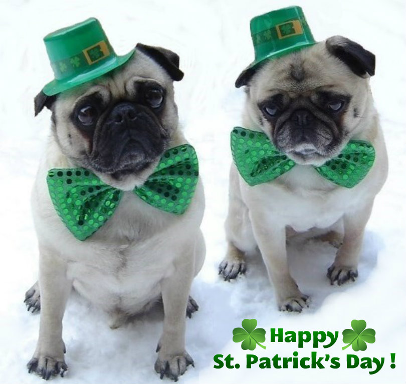 Pug-St-Patrick-s-day-animal-humor-33830268-810-767